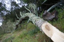 Confirmados 252 positivos de 'Xylella fastidiosa' en Baleares