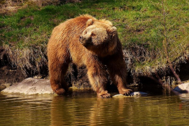 El oso Goiat mata a otra yegua en la Val d'Aran (Lleida)