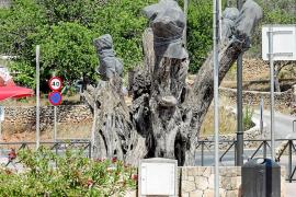 La plaga de 'Xylella' condena a los olivos centenarios de Sant Carles a desaparecer