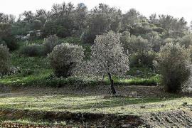 Balears deberá talar 794 hectáreas si Europa confirma su plan
