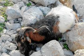 Un experto valorará si dejar las cabras muertas en es Vedrà ha perjudicado a su flora