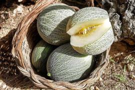 Un proyecto para recuperar el 'meló eriçó' lleva esta variedad a las cocinas de la isla