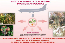 Prohíben portar vegetales en el vuelo Badajoz-Palma para impedir la dispersión de la bacteria Xylella