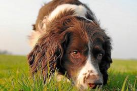 Parásitos internos caninos y el peligro para su salud