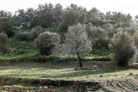 Agricultura iniciará pruebas de productos fitosanitarios contra la 'xylel·la'