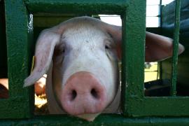 Unos bomberos salvan de un incendio a unos cerdos y acaban comiéndoselos en una barbacoa