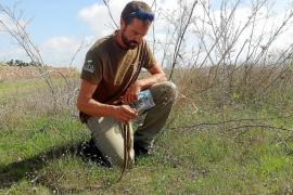 Capturadas 820 serpientes en lo que va de temporada en Formentera