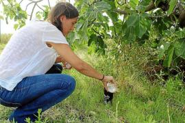 El Govern balear no se hace cargo del mosquito tigre a pesar de las quejas de los vecinos de la isla