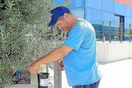 El Govern desdice a Vericad y dice que el mosquito tigre es una «plaga urbana» que corresponde a los ayuntamientos