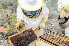 El Consell d'Eivissa rechaza el programa de recuperación de la abeja autóctona