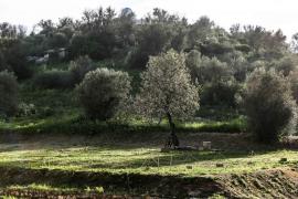 Confirmados 88 casos de 'Xylella fastidiosa' en Ibiza
