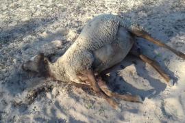 Varios perros peligrosos matan a ocho ovejas en Formentera
