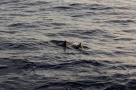 Espectaculares imágenes de unos delfines en la bahía de Sant Antoni