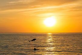 Coreografía de delfines en el atardecer de la bahía de Sant Antoni