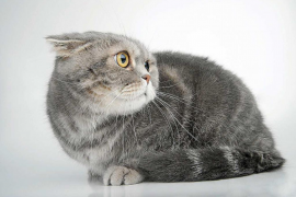 Los problemas urinarios en gatos