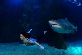 Una sirena pitiusa entre tiburones toro