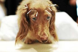 Acupuntura para perros: lo que usted necesita saber