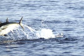 Los pescadores de Baleares pugnan por recuperar la captura de atún rojo