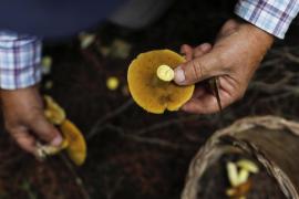 El micólogo Toni Serra busca setas en los campos de las Pitiusas