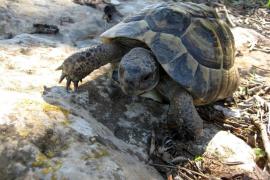 Nacen en Ibiza las primeras crías de tortuga mediterránea en cautividad