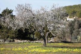 Los almendros del Pla de Corona inician su floración