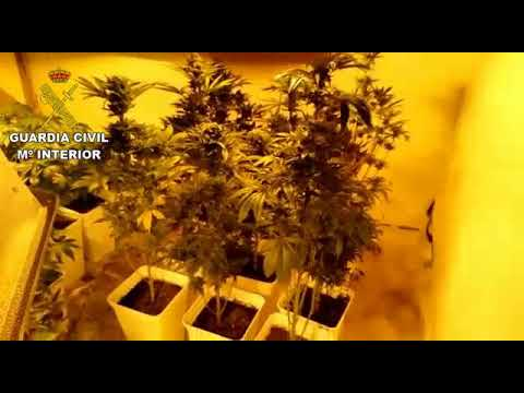 La Guardia Civil desmatela una 'casa laboratorio' de marihuana en Santa Gertrudis
