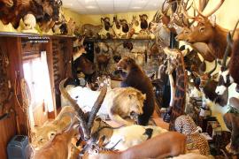 Arrestado por comercializar trofeos de caza de especies protegidas disecadas