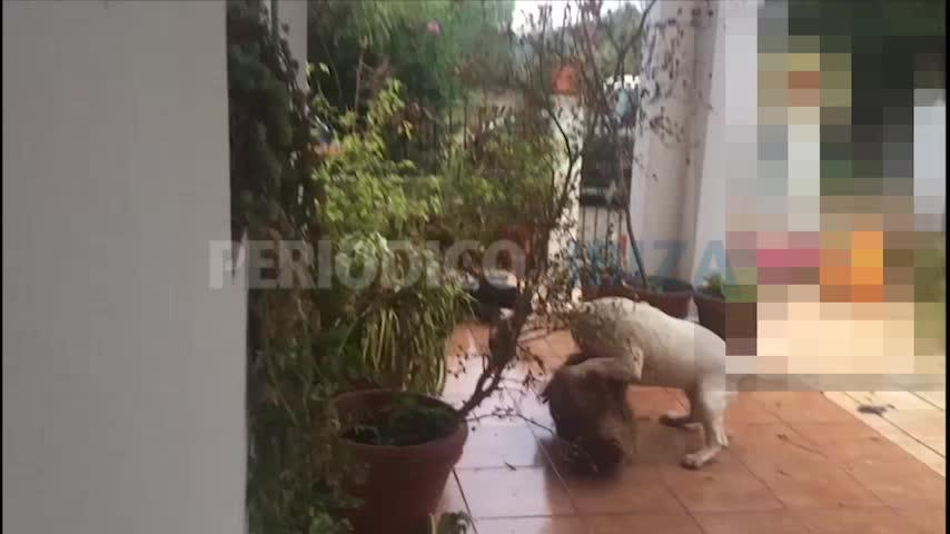 Vídeo denuncia del violento ataque de un perro peligroso en una casa de Santa Gertrudis