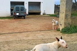 Vecinos de Santa Gertrudis aportaron imágenes en la denuncia por los ataques de perros peligrosos