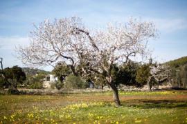 Constituida una mesa de trabajo para la recuperación del almendro de Ibiza