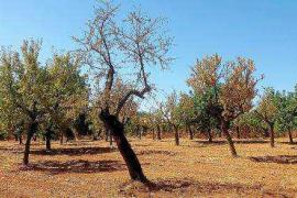 Luz verde a la siembra en los terrenos afectados por la 'Xylella'