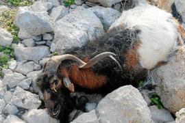 Archivan las denuncias contra Amengual y Vericad por la matanza de cabras de es Vedrà