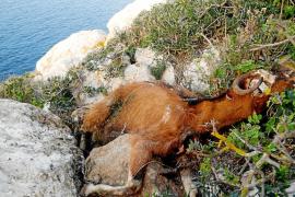Los animalistas recurrirán el archivo de la denuncia contra Vericad y Amengual