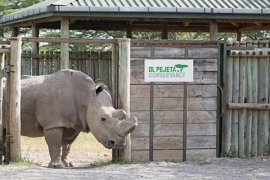 Muere el último macho de rinoceronte blanco del norte