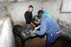 El 'porc negre' está más cerca genéticamente a la raza del Alentejo portugués que a las de Mallorca y Menorca