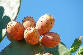 El Consell d'Eivissa ha detectado la cochinilla que afecta a las chumberas