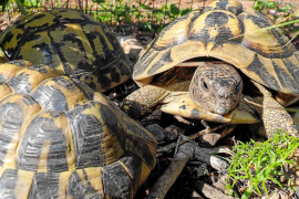 Recuperación de la tortuga mediterránea