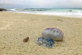 Formentera retira un centenar de carabelas portuguesas de sus playas