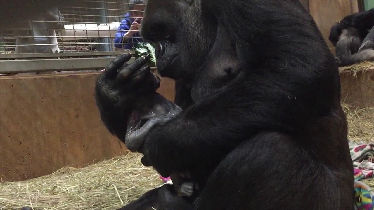 Tiernas imágenes de una gorila dando a luz