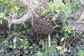 Retiran un enjambre de abejas en una calle de Puig des Molins