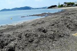 Las algas cubren la playa de Cala Martina en el inicio de la temporada