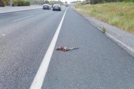 Atropellada una gineta en la carretera de Sant Antoni