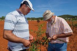 Los almendros del Pla de Corona cogen forma con las nuevas plantaciones piloto
