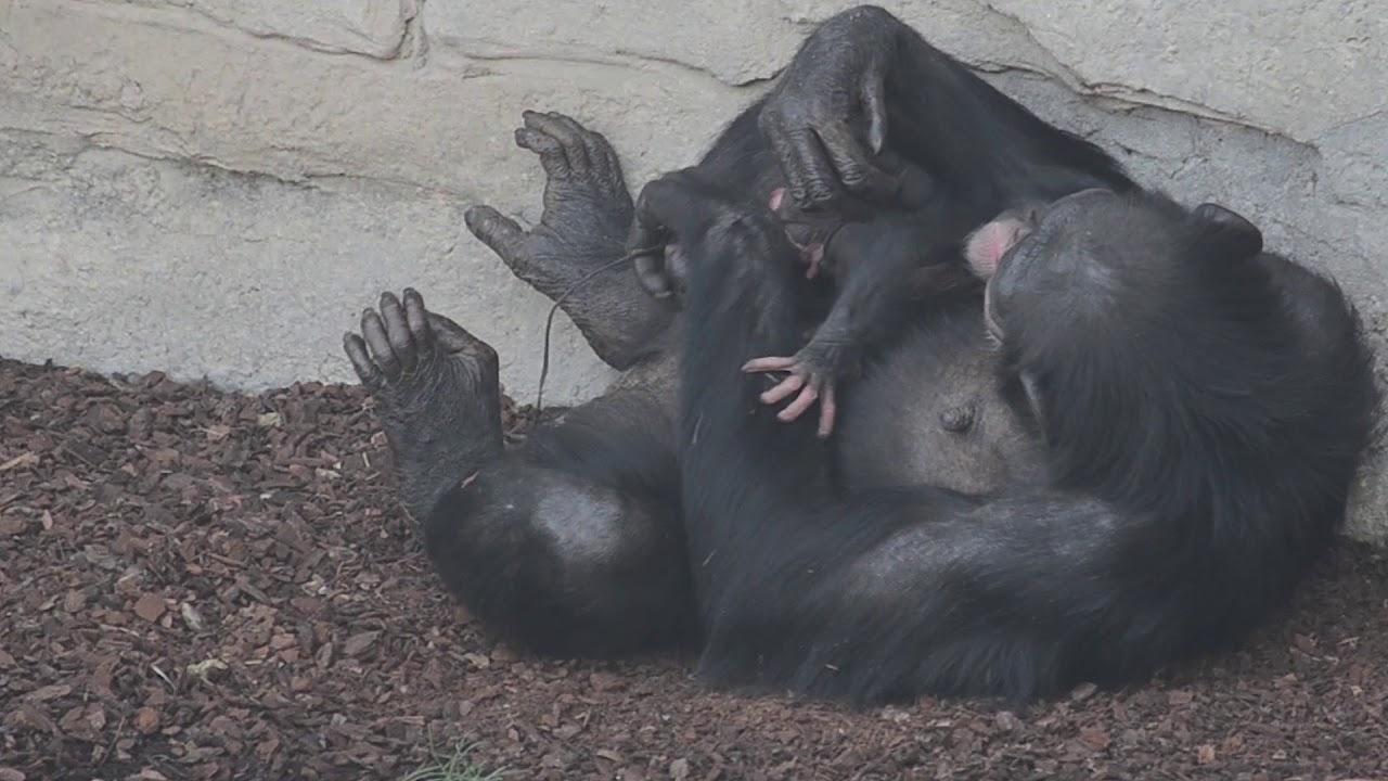 Nace ante el público una cría de chimpancé en Bioparc Valencia