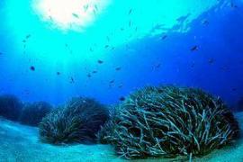 SOS Posidònia denunciará junto a Greenpeace las amenazas que sufre la planta en el litoral pitiuso