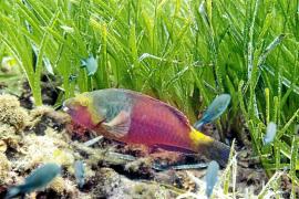 El pez invasor 'vieja colorada' es cada vez más habitual en las Pitiusas