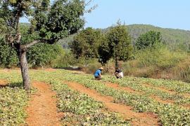 El 'meló eriçó' triplica su producción un año después de incorporarse a Sabors d'Eivissa