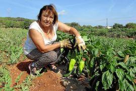 Agricultores profesionales cosecharán más de 3.000 kg de pebrera blanca en Ibiza