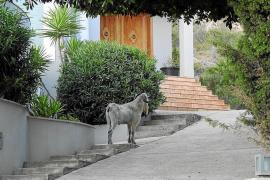 Cabras en Andratx