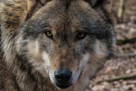 Investigan el hallazgo de una cabeza de lobo en una piscina municipal